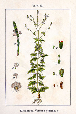 Verbena officinalis in Deutschlands Flora in Abbildungen, van Sturm en Sturm (1796)