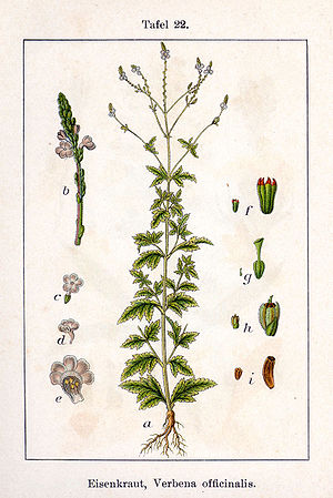 Verbena - common vervain (V. officinalis) from Deutschlands Flora in Abbildungen by Johann Georg Sturm and Jacob Sturm, 1796