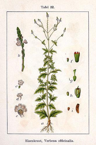 Verbena - common vervain (V. officinalis) from Deutschlands Flora in Abbildungen by Johann Georg Sturm and Jacob Sturm, 1796