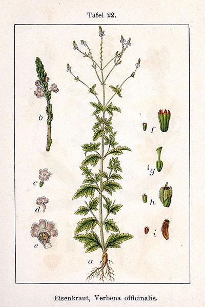 File:Verbena officinalis Sturm22.jpg