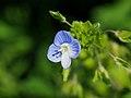 Veronica Persica Flowers Persian Speedwell Bird S Eye Speedwell オオイヌノフグリ (255024849).jpeg