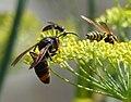 Vespa velutina nigrithorax, Josselin, France 05.jpg