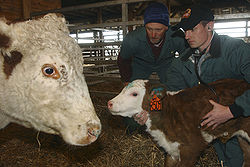 Veterinary student listening to a calf's side with a stethoscope