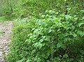 Viburnum molle.jpg