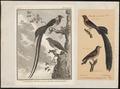 Vidua paradisea - 1700-1880 - Print - Iconographia Zoologica - Special Collections University of Amsterdam - UBA01 IZ15900103.tif