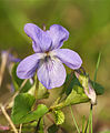 Viola x bavarica LC0129.jpg