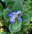 Vitex trifolia subsp. litoralis (5187960625).jpg