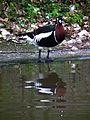 Vogelpark Viernheim Rothalsgans 2012.JPG