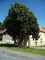 Volšovy - památná lípa.jpg