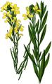 WWB-0034-012-Cheiranthus cheiri-crop.png