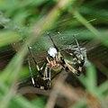 Wasp spider, front view (14710051624).jpg