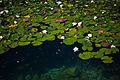 Water Lilies (4785382983).jpg