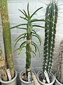 Weberbauerocereus longicomus, Austrocylindropuntia subulata, Stetsonia coryne - Lyman Plant House, Smith College - DSC04332.JPG