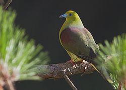 Wedge-tailed Green Pigeon Bhimtaal Uttarakhand India 27.05.2016.jpg