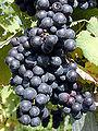 Weintrauben.Rot.JPG