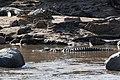 Western Serengeti 2012 06 02 4070 (7557750068) (2).jpg