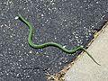 Western Smooth Green Snake, Opheodrys vernalis blanchardi - Flickr - GregTheBusker (2).jpg