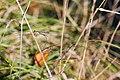 Western Willow Spreadwing - Pair - 9-26-14 - Bois de Boulogne, Paris, France (20141845652).jpg