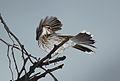 White-browed scrub robin, Cercotrichas leucophrys at Pilanesberg National Park, Northwest Province, South Africa (17183136460).jpg
