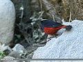 White-capped Redstart (Chaimarrornis leucocephalus) (34149487260).jpg