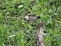 White-crested Laughingthrush - Garrulax leucolophus - DSC01076.jpg
