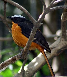 White-crowned Robin-chat.jpg