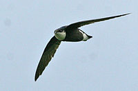 White-throated Needletail - Cropped.jpg