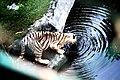 White Tiger (33157173).jpeg