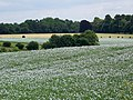 White flax near Corsham - geograph.org.uk - 1994302.jpg