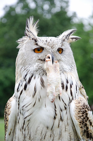 Horned owl - Eurasian eagle-owl with a rat in its beak.