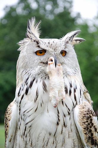 Horned owl - Eurasian eagle-owl with a rat in its beak.