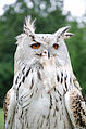 White horned owl portrait.jpg