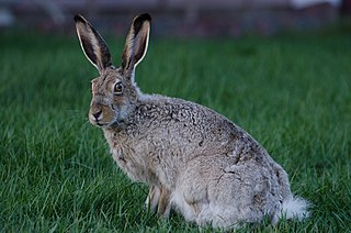 White-tailed jackrabbit species of mammal