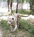 White tiger walk.jpg