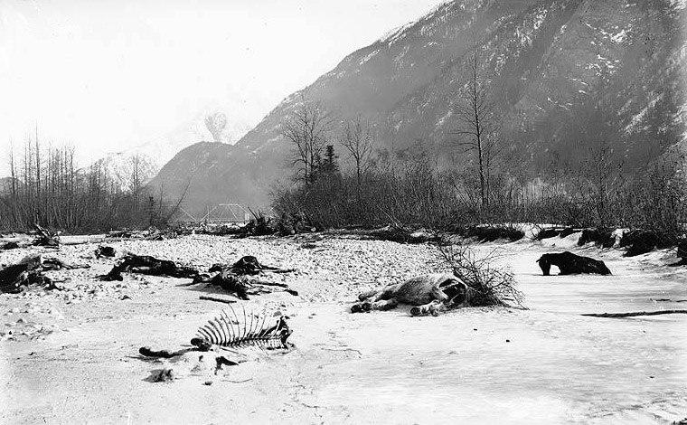 Whitepass-dead-horses