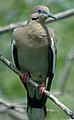 Whitewing Dove (176931623).jpg