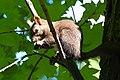 Wiewiórka w żywieckim parku Habsburgów. - panoramio.jpg