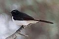 Willie Wagtail (Rhipidura leucophrys) (8079681620).jpg
