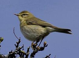 Willow warbler UK09