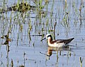 Wilson's phalarope on Seedskadee National Wildlife Refuge (34978745326).jpg