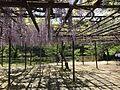 Wisteria floribunda in Mifuneyama Garden.jpg