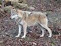 Wolf (2081427634).jpg
