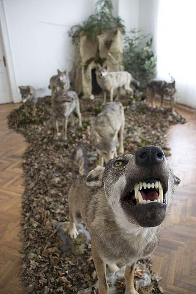 File:Wolves in a museum in Košice.jpg