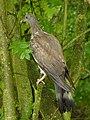 Wood Pigeon (5942540875).jpg