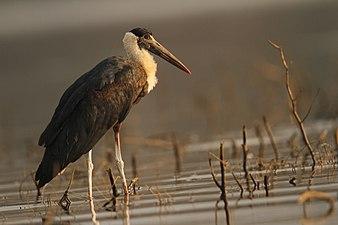 Wooly necked stork David Raju.jpg