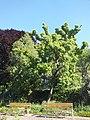 Wzwz tree 09b Acer tataricum subsp. ginnala.jpg