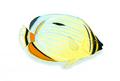 XRF-Chaetodon trifasciatus.png