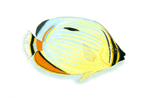 Description de l'image XRF-Chaetodon trifasciatus.png.