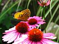 Yellow-Butterfly-Cone-Flowers - West Virginia - ForestWander.jpg