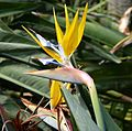 Yellow-flowered Strelitzia sp. - Flickr - gailhampshire.jpg
